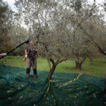 raccolta olive toscane
